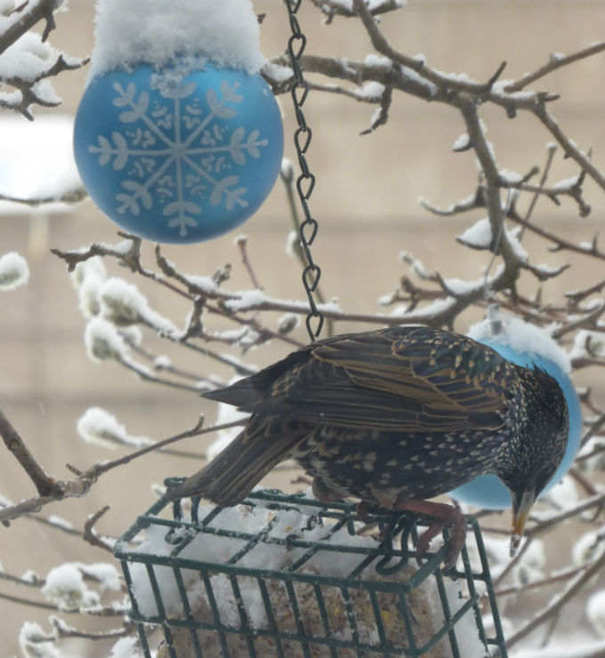 New Year's Starling (1 Jan 2015_c_s)